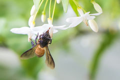 Пчела меда с цветком Стоковое Фото