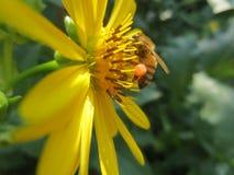 Пчела меда с Sac цветня Стоковое Фото