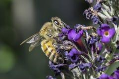 Пчела меда Стоковая Фотография