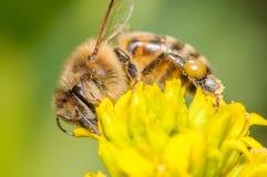 Пчела меда Стоковое Изображение