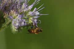 Пчела меда & x28; Apis& x29; стоковое фото