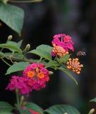 пчела многодельная Стоковая Фотография RF