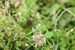 Пчела мухы стоковое изображение rf