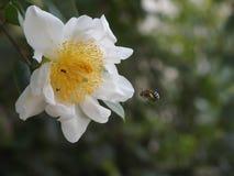 Пчела находя мед стоковая фотография