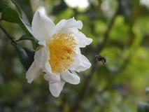 Пчела находя мед стоковые изображения