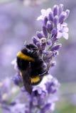 Пчела на лаванде Стоковое фото RF