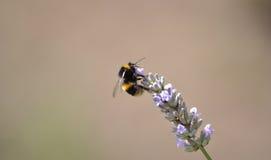 Пчела на лаванде стоковое изображение rf