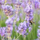 Пчела на лаванде Стоковая Фотография