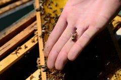 Пчела на ладони человека Стоковое Фото