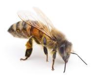 Пчела на белизне Стоковые Фотографии RF
