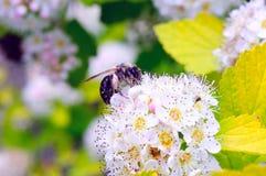 Пчела на белом цветке Стоковые Фотографии RF
