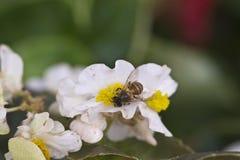Пчела на белом цветке Стоковое Изображение RF