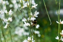 Пчела на белом цветке Стоковая Фотография RF