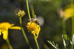 Пчела на более старой маргаритке 2 Стоковая Фотография
