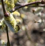 Пчела на вербе Стоковое Фото