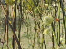 Пчела на вербе Стоковое Изображение RF