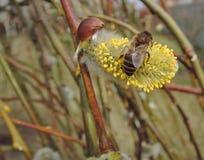 Пчела на вербе Стоковые Фотографии RF