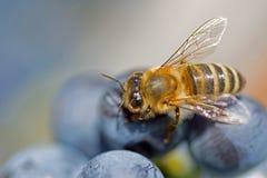 Пчела на виноградинах закрывает вверх Пчела меда всасывает нектар от фиолетового макроса виноградин стоковые фото