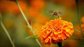 Пчела на двойном оранжевом ноготк Стоковая Фотография