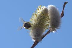 Пчела на в расцвете вербе Стоковые Изображения
