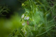 Пчела на горохе Стоковые Изображения RF