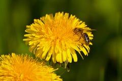 Пчела на желтом одуванчике Стоковая Фотография