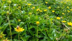 Пчела на желтом цветке в саде стоковое фото
