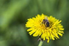 Пчела на желтом цветке одуванчика Стоковые Изображения