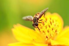 Пчела на желтом цветке одуванчика Стоковые Изображения RF