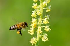 Пчела на желтом цветке стоковые изображения