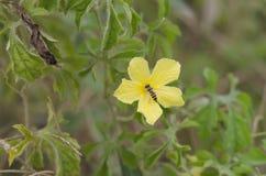 Пчела на желтом цветке. Стоковое Изображение RF