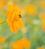 Пчела на желтом цветке Стоковые Фотографии RF