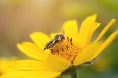 Пчела на желтом цветке Стоковое Изображение RF