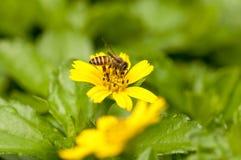 Пчела на желтом цветке стоковое фото rf