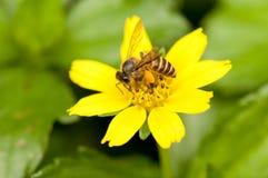 Пчела на желтом цветке Стоковая Фотография RF
