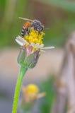 Пчела на желтом цветке Стоковое Изображение