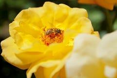 Пчела на желтом цветке Стоковая Фотография