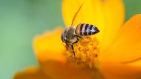 Пчела на желтом цветке Стоковые Фото
