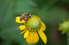Пчела на желтом coneflower Стоковые Изображения
