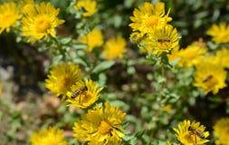 Пчела на желтые цветки стоковое фото