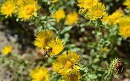 Пчела на желтые цветки Стоковая Фотография RF