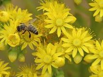 Пчела на желтых цветках с нерезкостью предпосылки Стоковая Фотография RF