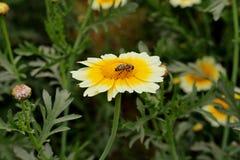 Пчела на Желт-белом цветке Стоковое Изображение
