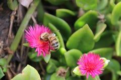 Пчела на заводе льда Heartleaf Стоковые Изображения RF