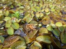 Пчела над заводом duckweed Стоковое Изображение