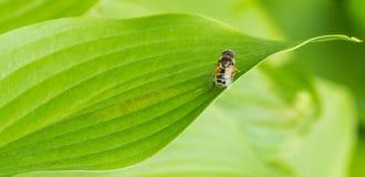 Пчела на зеленых листьях Стоковая Фотография