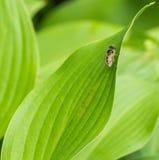 Пчела на зеленых листьях Стоковые Изображения RF
