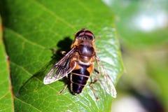Пчела на зеленых лист Стоковая Фотография RF