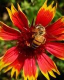Пчела на индийском одеяле Стоковые Изображения