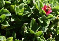 Пчела на кипрскых цветке и заводах Стоковое Изображение